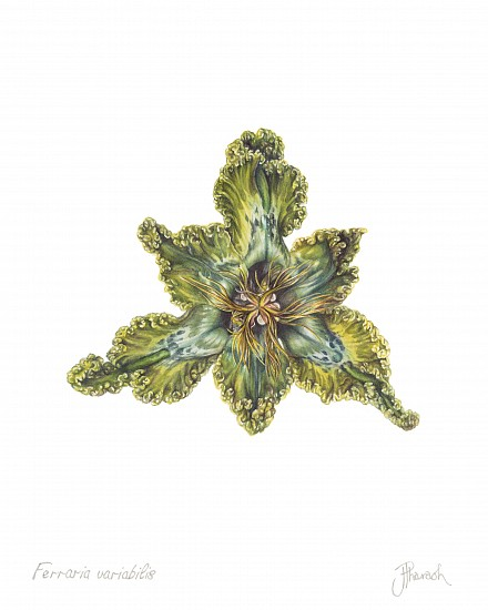 JENNY PHARAOH, FERRARIA VARIABILIS WATERCOLOUR