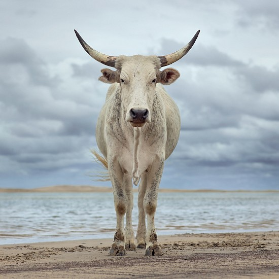 DANIEL NAUDÉ, XHOSA COW ON THE SHORE. KEI RIVER MOUTH, EASTERN CAPE, SOUTH AFRICA, EDITION OF 5 9 DECEMBER 2019, LIGHTJET C-PRINT